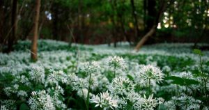 On the Brook - Wild Garlic